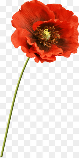 Common poppy flower clip art poppy png download 9381521 free png mightylinksfo