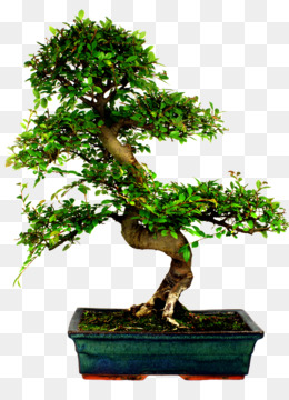 Chinese Elm Png Amp Chinese Elm Transparent Clipart Free