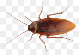 Cockroach, Insect, Pest Control, Invertebrate PNG image with transparent background