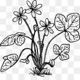Anemone Png Trasparente E Anemone Disegno Comune Di Papavero