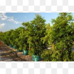 Free Tree Waterhousea Floribunda Plant Downes Whole Nursery Crepe Myrtles Png