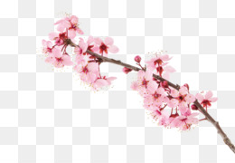 Cherry Blossom, Blossom, Cherry, Pink, Plant PNG image with transparent background