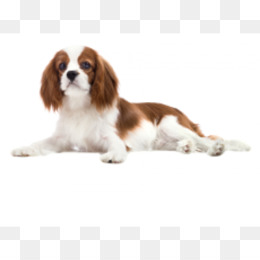 836ae001069 Cavalier King Charles Spaniel Stuffed Animals   Cuddly Toys Ty Inc ...