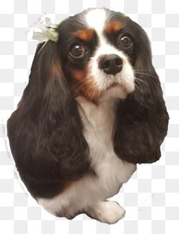 8eb0e9c2436 Cavalier King Charles Spaniel Puppy Dog breed Companion dog - puppy.  Download Similars