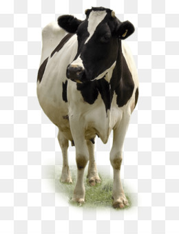 Dairy Cattle, Miglioranza Srl, Calf, Dairy Cow, Cattle Like Mammal PNG image with transparent background