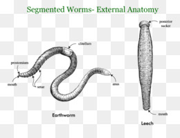 Free download Earthworms Annelid Segmentation Roundworms - Giant ...