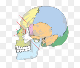 Free download Skull Palatine bone Anatomy Human skeleton - skull png.