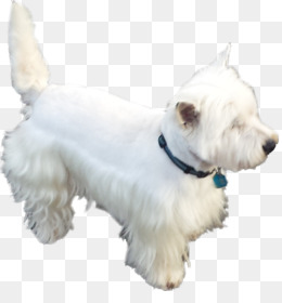 ffe17a247 West Highland White Terrier, Scottish Terrier, Miniature Schnauzer, Dog  Like Mammal, Dog
