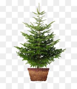 free download christmas tree nordmann fir norway spruce christmas day image christmas tree png