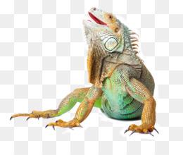 Reptile, Lizard, Green Iguana, Iguana PNG image with transparent background