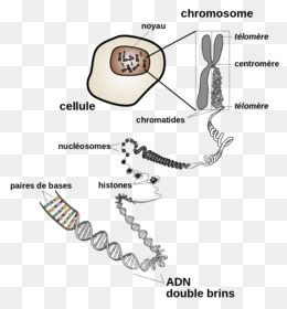 Dna chromosome genetics chromatin chromosome structure png dna chromosome genetics chromatin chromosome structure png download 700750 free transparent text png download ccuart Image collections