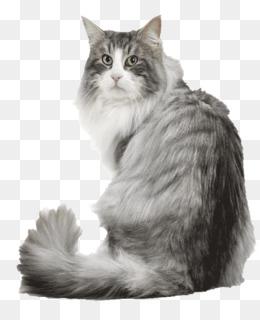 b37425d642 Norwegian Forest cat Kitten Siberian cat Turkish Van Veterinarian ...