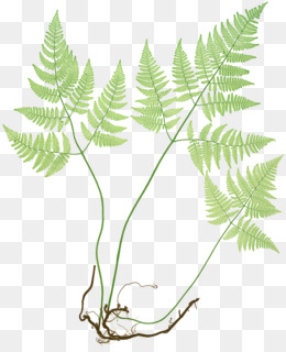 Ferns Of Great Britain And Ireland, Fern, Common Polypody, Plant, Leaf PNG image with transparent background