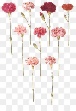 0ed64e436 Carnation, Flower, Floral Design, Pink PNG image with transparent background