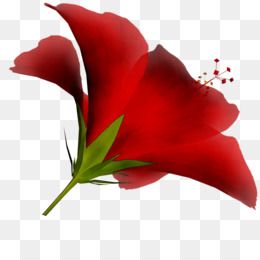 Garden Roses, Cut Flowers, Jersey Lily, Red, Petal PNG image with transparent background