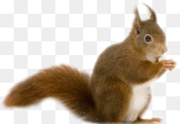 Rodent, Chipmunk, Red Squirrel, Vertebrate, Mammal PNG image with transparent background