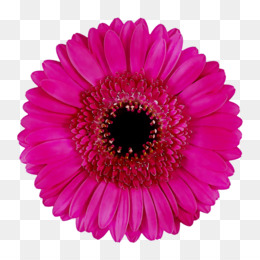 Hatz, Party, Birthday, Barberton Daisy, Gerbera PNG image with transparent background