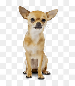 Chihuahua, Russkiy Toy, Puppy, Dog, Mammal PNG image with transparent background