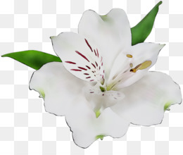 Lily Of The Incas, Cut Flowers, Flower, Flowering Plant PNG image with transparent background