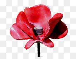 Garden Roses, Rose, Cut Flowers, Red, Flower PNG image with transparent background