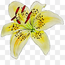 Yellow, Cut Flowers, Flower, Lily, Petal PNG image with transparent background