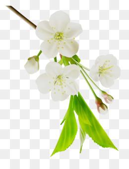 Stau150 Minvuncnr Ad, Cherry Blossom, Flower, Petal PNG image with transparent background